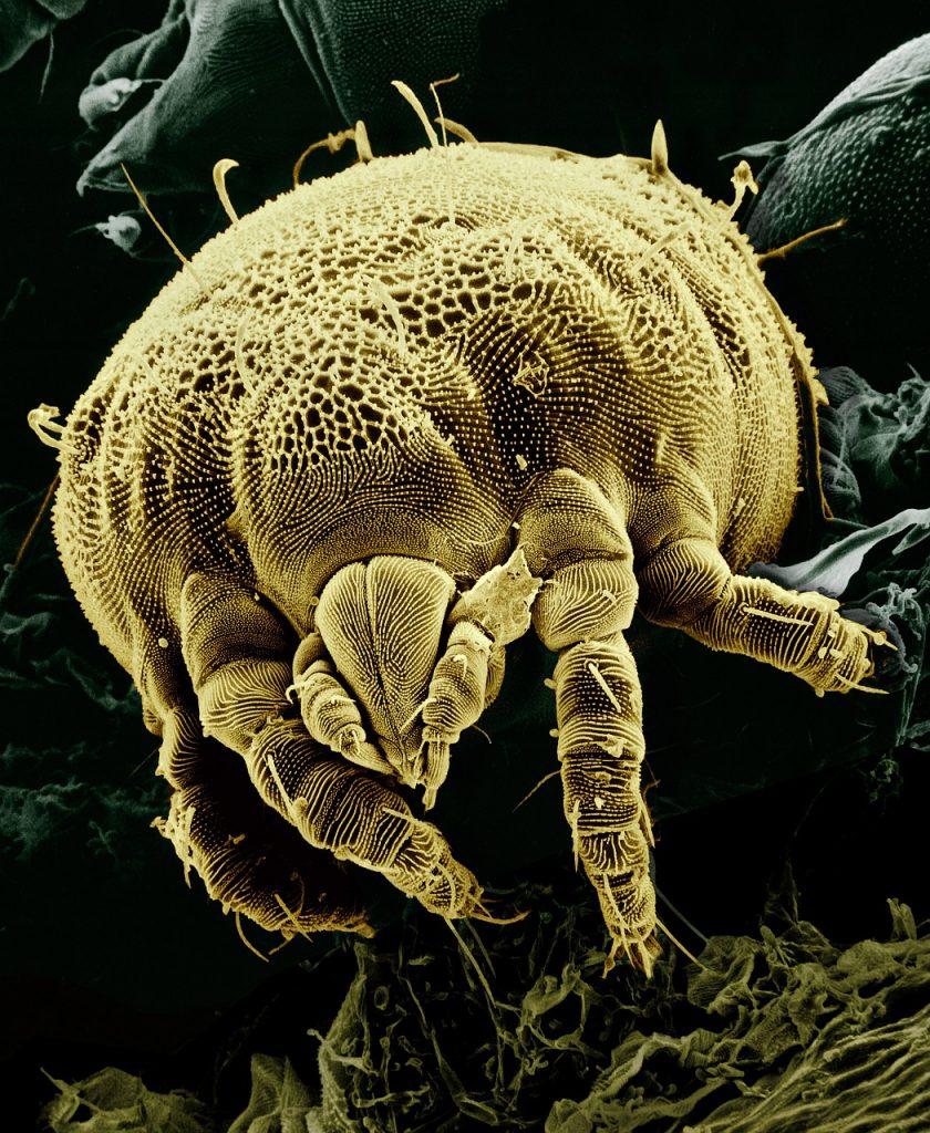 acaro della polvere ingrandito al microscopio