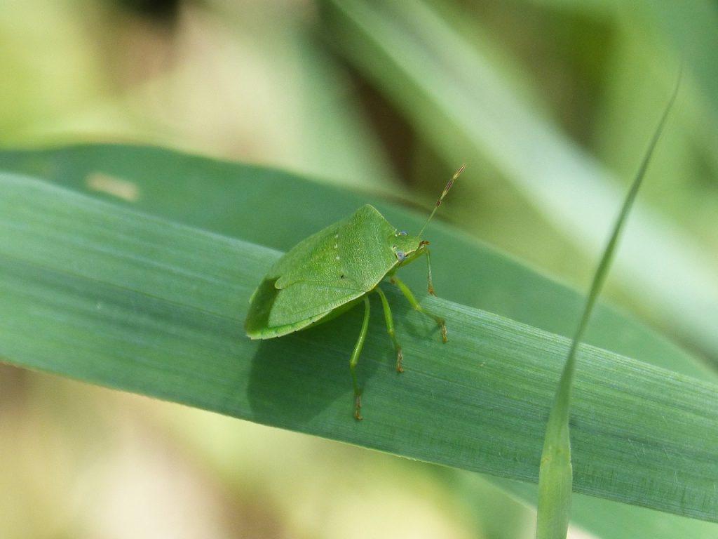 cimice verde su foglia