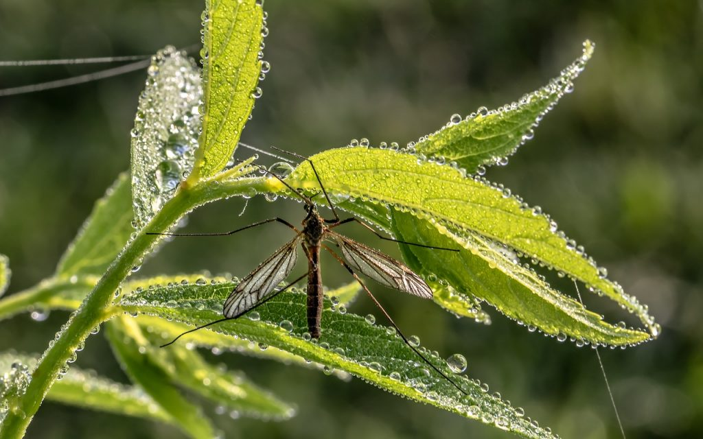 zanzara su foglie