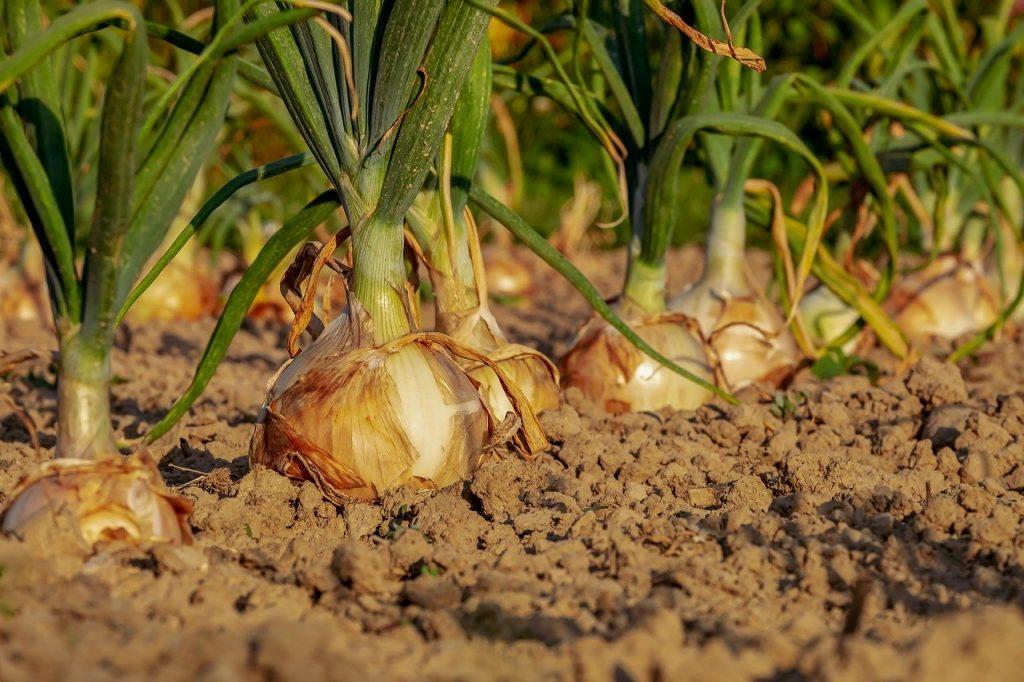cipolle orto