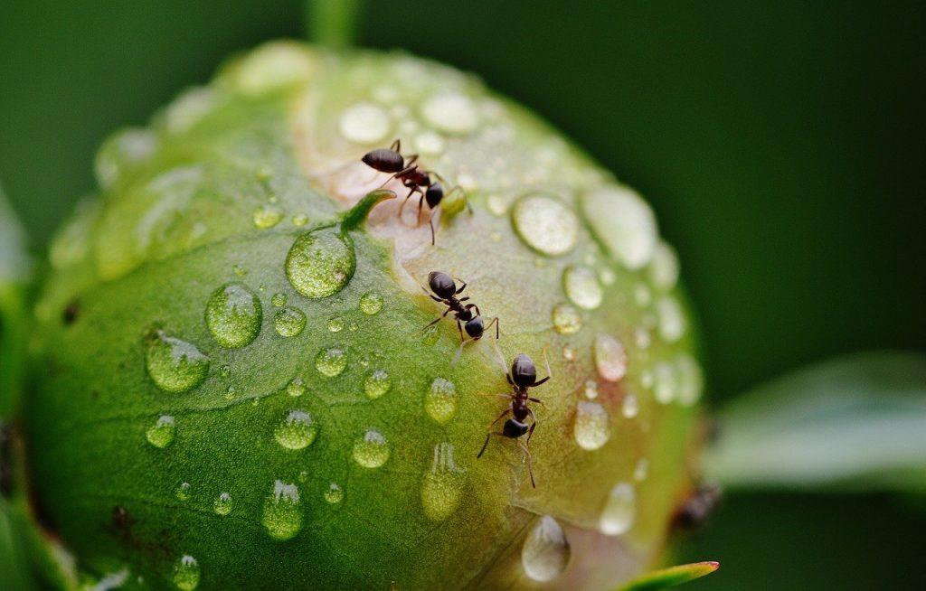 formiche su piante