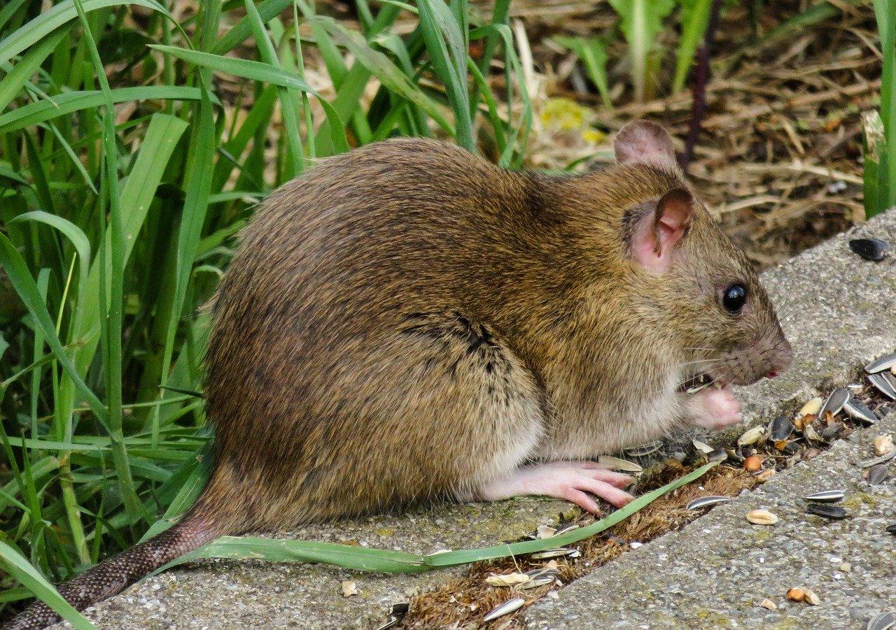 Consigli su come allontanare i topi da casa