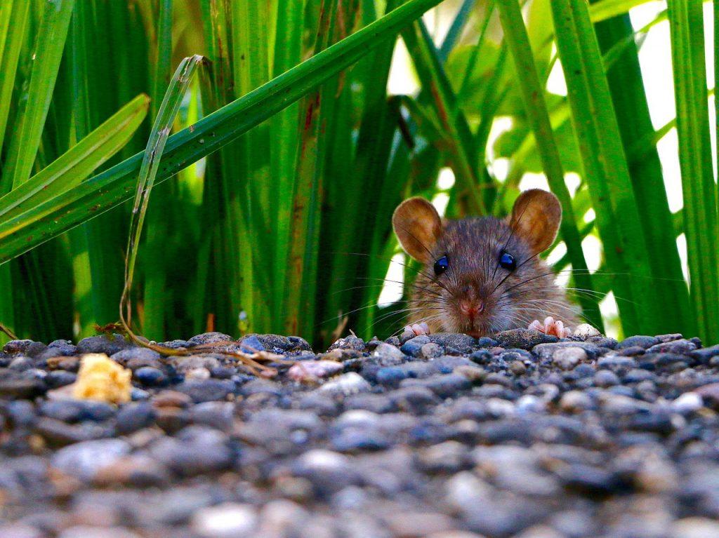 topo in giardino