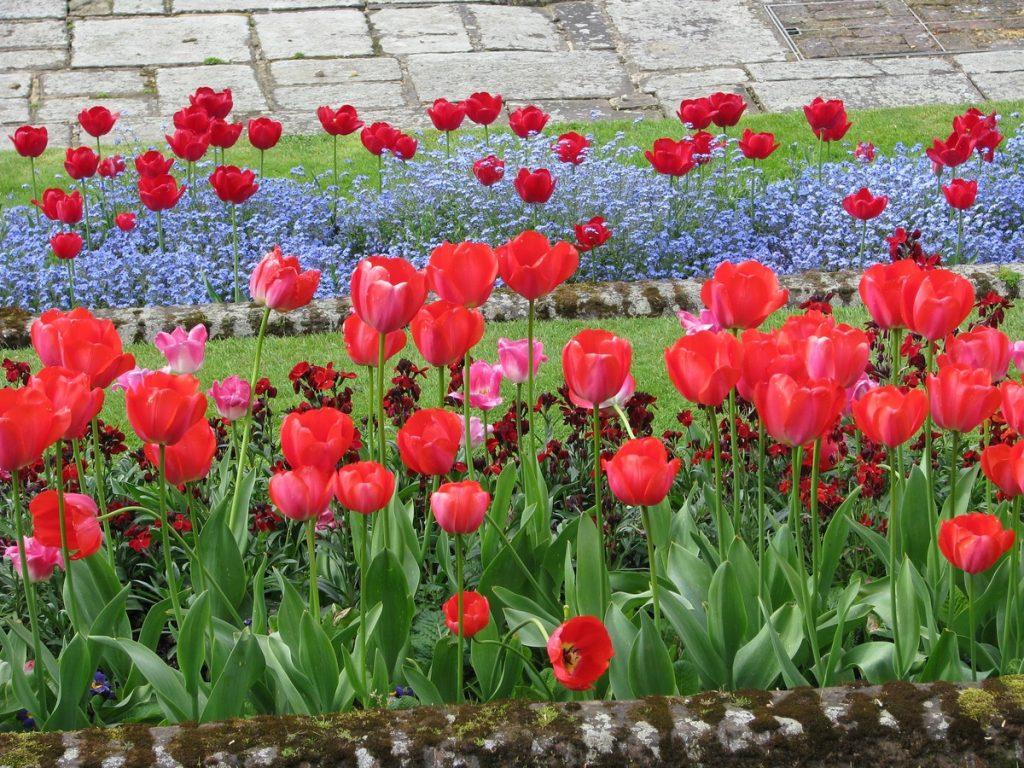 aiuola con tulipani