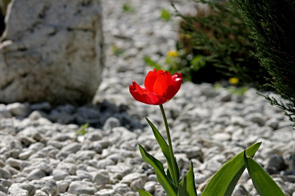 fiori in mezzo ai sassi bianchi