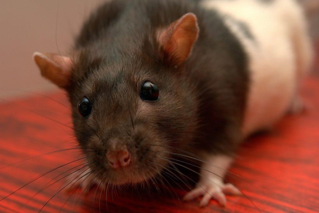 Ratto in casa